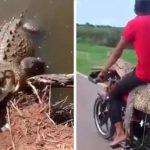 VIDEO | Un grupo de jóvenes captura en México a un caimán y lo transportan en una pequeña motocicleta