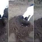 VIDEO | Perra cava una tumba para enterrar a su cachorro recién fallecido